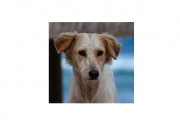 Община Русе започва кампания за безплатно чипиране и регистър на домашните кучета